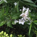 Weigela x hybrida «Candida»