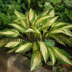 Hosta «Cherry Berry»