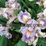 Iris pumila «Circus Clown»