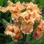 Iris pumila «Clash»