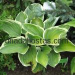 Hosta «Clifford*s Forest Fire»