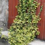 Euonymus fortunei «Emerald*n Gold»