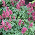 Astilbe x arendsii «Fanal»
