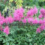 Astilbe japonica «Federsee»