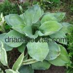 Hosta «Gray Cole»