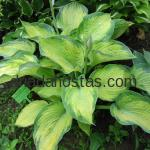 Hosta «Great Expectations»