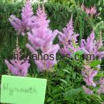 Astilbe x arendsii «Hyacinth»