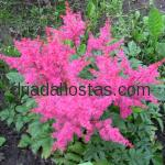 Astilbe hybrida «Jump and Jive»