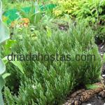 Juniperus horyzontalis «Blue Forest»