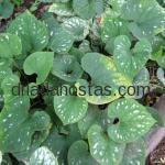 Brunnera macrophylla «Langtrees»