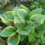 Hosta «Maple Leaf»