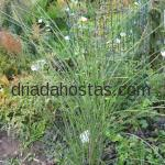 Miscanthus sinensis «Autum Light»