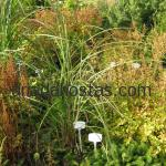 Miscanthus sinensis «Grosse Fontane»