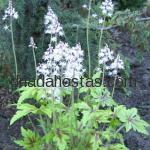 Tiarella «Neon Lights»