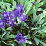 Iris pumila «Neutron»
