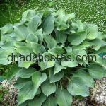 Hosta «Pacific Blue Edger»