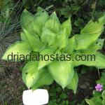 Hosta «Paul*s Glory»
