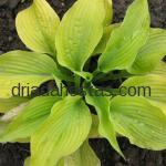 Hosta «Piedmont Gold»