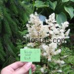 Astilbe hybrida «Rock and Roll»