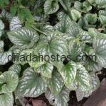 Brunnera macrophylla «Silver Wings»