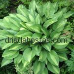 Hosta «Striptease»