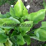 Hosta «Sum and Substance»