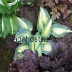 Hosta «Touch of Class»