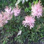 Astilbe simplicifolia «Touch of Pink»