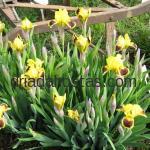 Iris pumila «Ultimate»