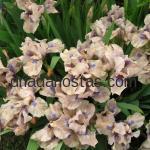 Iris pumila «Vibes»