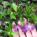 Vinca minor «Atropurpurea»