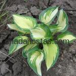 Hosta «Warwick Delight»
