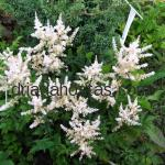 Astilbe simplicifolia «White Wings»