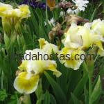 Iris pumila «With Costanets»