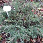 Juniperus communis «Spotty Spreader»