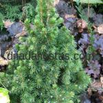 Picea glauca «Rainbow*s End»