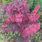 Berberis thunbergii «Orange Rocket»