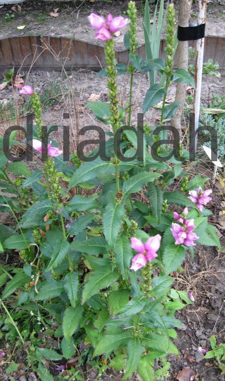 Выращивание хелоне из семян 54